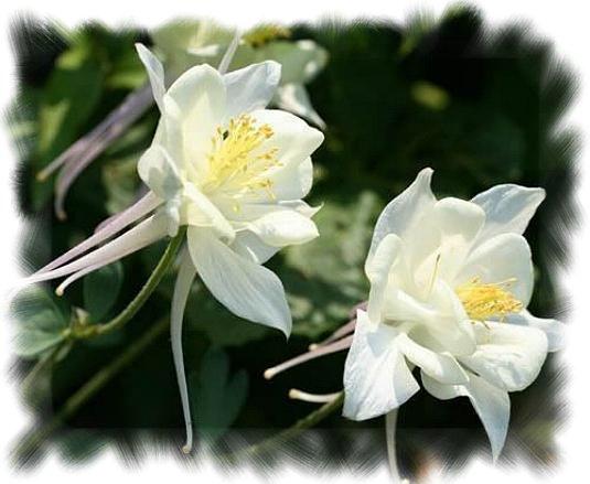 BLÜHENDER ZAUN Blumenmischung 300 g Augenweide TOP Saatgut Blumensamen 150 m²